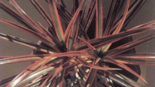 Dracaena, Spike Plant