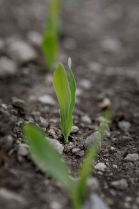 A lonely corn sprout makes its debut in Illinois. Corn harvests have exploded to meet increased demand for ethanol.