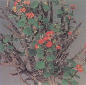 There are many different varieties of euphorbia. Some, like this one, have small leaves and bright flowers. See more pictures of house plants.