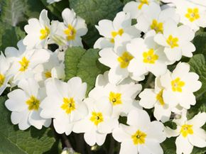 Will a primrose a day keep the doctor away? Read on to find out.