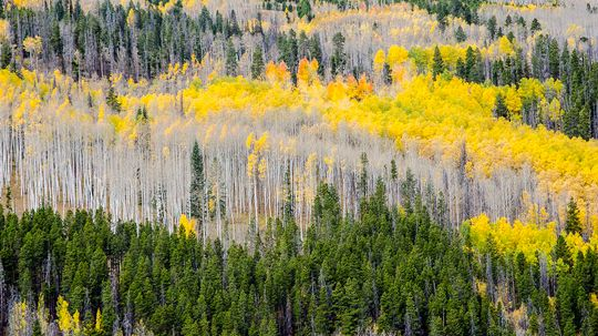 Why Evergreen Trees Don't Shed Their Needle-like Leaves