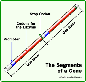 A gene consists of a promoter, the codons for an enzyme and a stop codon. Two genes are shown above. The long strand of DNA in an E. coli bacterium encodes about 4,000 genes, and at any time those genes specify about 1,000 enzymes in the cytoplasm of an E. coli cell. Many of the genes are duplicates.