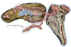 This ancient mammal was discovered with a surprising addition: a fossilized fetus.