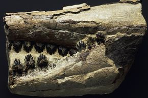 One of the first fossils ever to be drawn and described in scientific literature belonged to a Squalodontid.