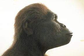 A bigger brain and smaller teeth set this hominid apart from its earlier ancestors.