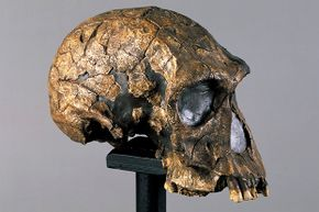 """The name Homo habilis comes from this species's nickname: """"handy man."""""""