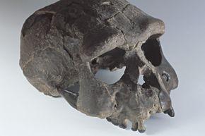 Upright walker Homo erectus had a relatively large brain.