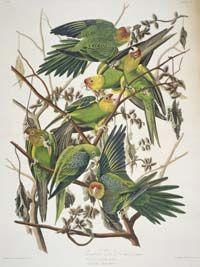 Carolina parakeets, now extinct.