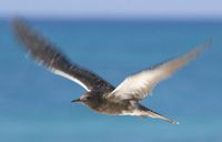 A race to capture the sooty tern's egg determined the Birdman for the next 12 moons.