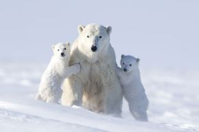 These three bears can make do with some very cold porridge. See more endangered animals pictures.