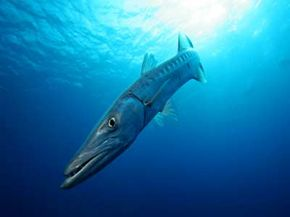 The great barracuda and its swift jaws frighten some more than sharks do­. See more mysterious marine animal pictures.