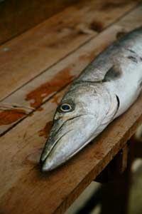 Barracudas may harbor ciguatoxin.