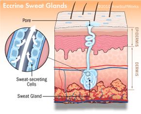 Illustration of eccrine sweat glands.