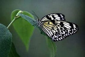One of the tropical butterflies released into the Humid Tropics Biome