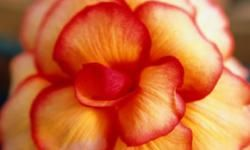 The petals of tuberous begonias are edible and have a hint of lemony flavor.
