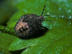 Stink bugs may have a foul odor, but they taste like apples.