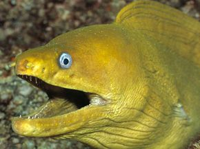 """Eels keep their mouths open while they """"breathe"""" underwater."""