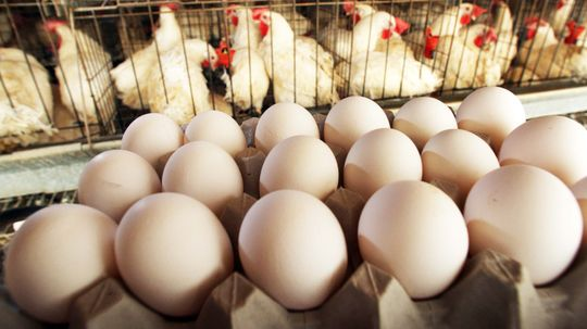 How Can You Tell if a Chicken Egg Is Fertilized?