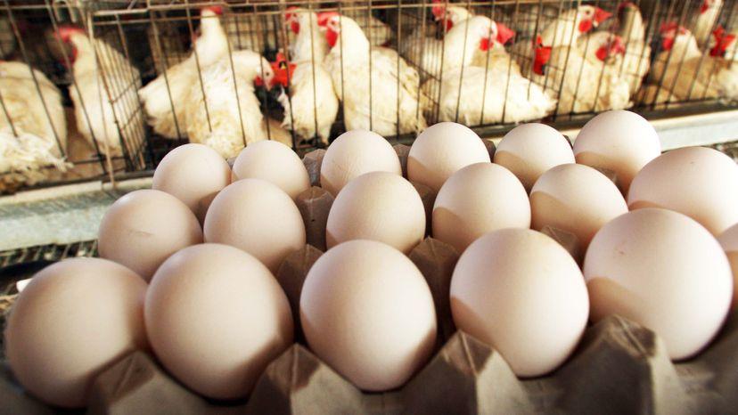 eggs, chickens
