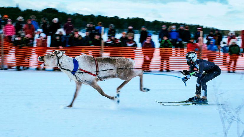 reindeer race, lapland