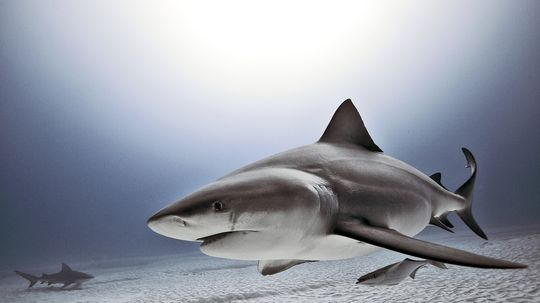 What is electroreception and how do sharks use it?