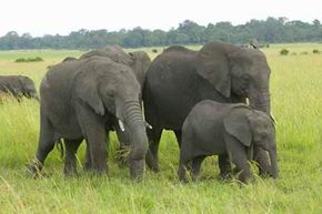 African Animal Image Gallery Elephant herds are close-knit groups with complex social interactions. See more pictures of African animals.