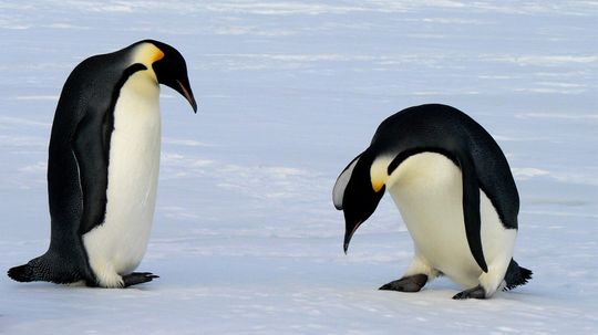 Why Penguin Feet Don't Freeze