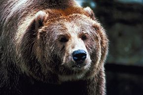 Although often adorable, grizzly bears are not looking for hugs when they charge at you.