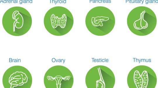 How the Endocrine System Works