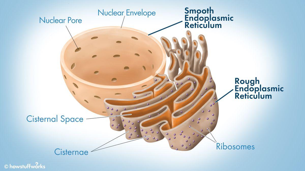 What Does the Endoplasmic Reticulum Do?