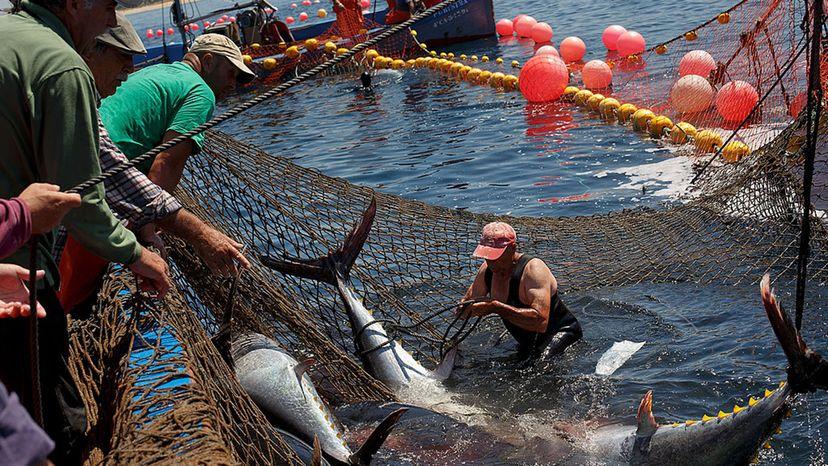 fisherman ties a bluefin tuna tail