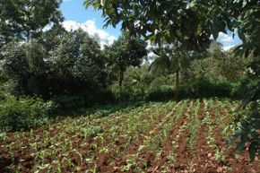 This farm in Kenya keeps trees growing alongside crops to maintain an agriculturally productive landscape.