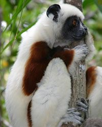 A Verreaux's sifaka perched in a tree