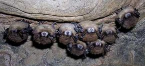 A cluster of little brown bats exhibiting the symptoms of White Nose Syndrome. See more pictures of mammals.