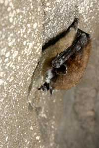 A little brown bat (Myotis lucifigus) with the white fungus covering its muzzle and body.