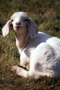 [b]Fainting goats, when startled, tense up and fall over. It could take several seconds for them to regain movement.