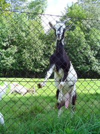 Goats have a tendency to jump and climb, making them hard to fence in. When fainting goats begin to jump or climb, they'll faint instead,