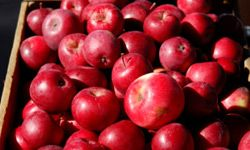 Visit a pick-your-own orchard to select the most delectable apples.