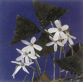 False shamrock folds at night and reopens each morning. See more pictures of house plants.