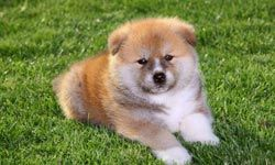 This adorable Akita will grow up to be fine guard dog and family dog too.