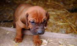 This cute wrinkly bloodhound puppy will grow up to be a noble bloodhound, one of the few breeds that can distinguish and follow human scent.