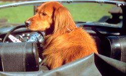 Irish setters love to be with their owners and will adapt to riding in a car.