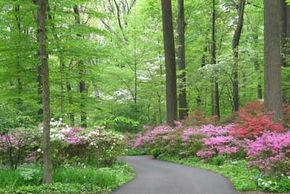The eight-acre Azaleas Woods is filled with white oaks and hundreds of white, pink, lavender, salmon, and red azaleas and rhododendrons.