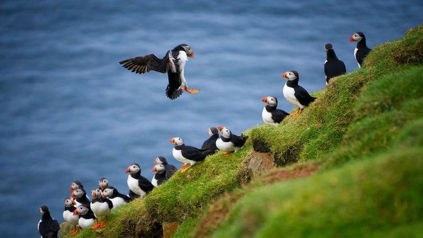 Atlantic puffins land on Mykines island