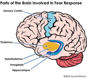 The same parts of thebrain that are active during fear responseareactive during panic attacks.