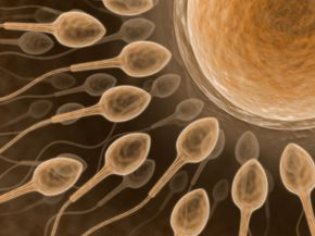 While female eggs contain lots of mitochondria, male sperm contains only a few, which are lost after fertilization.