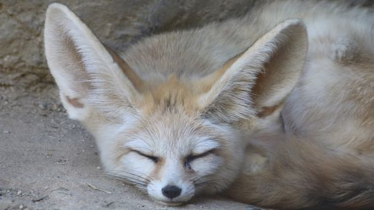 The Tiny Fennec Fox Is All Ears