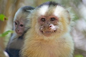 Smile! It's your potential new family of capuchin monkeys!