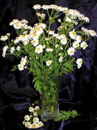 A certain type of Feverfew can reduce inflammation in the skin.