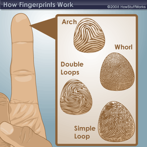 Peering at the patterns folded into a fingerprint